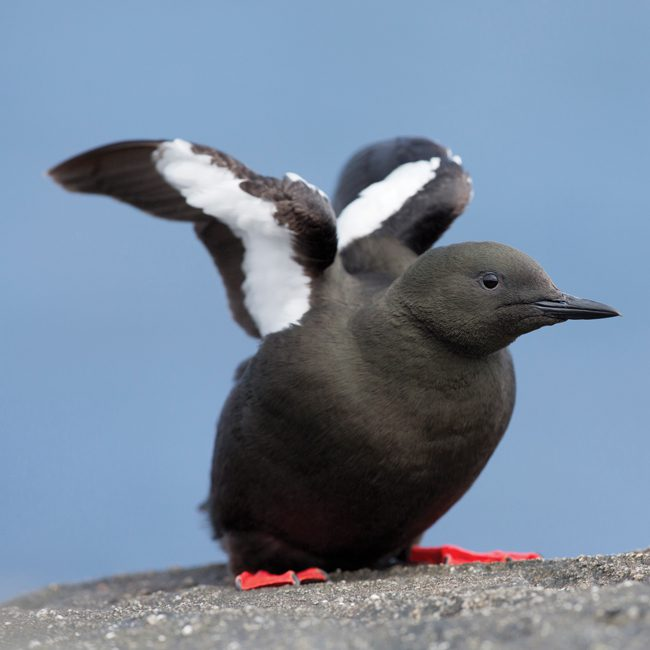 DC46 Black Guillemot-0