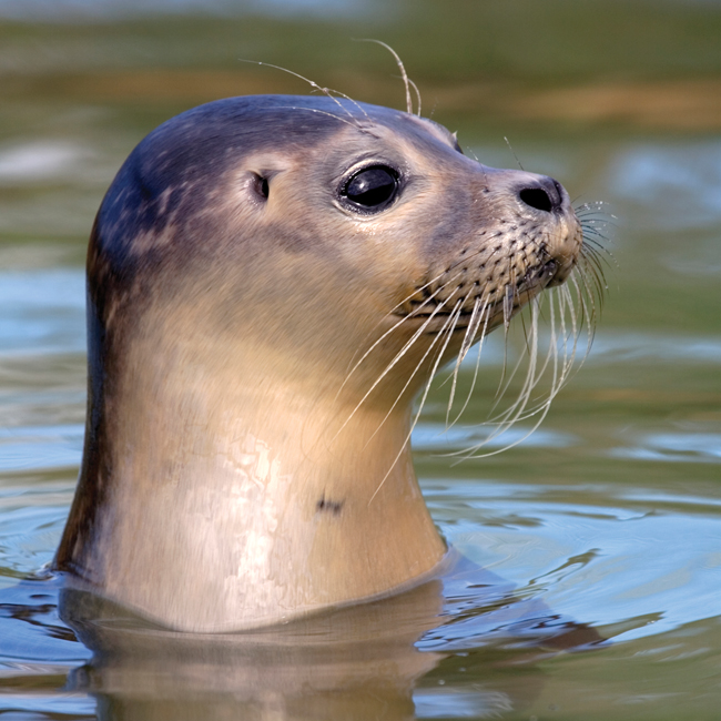DC47 Common Seal Pup-0