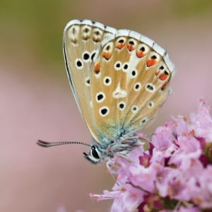 DC53 Adonis Blue Butterfly-0