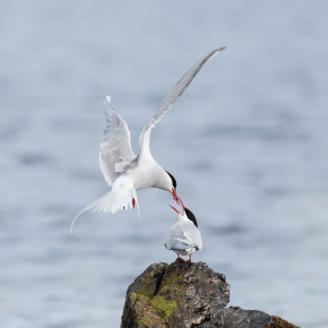 DC56 Artic Terns-0
