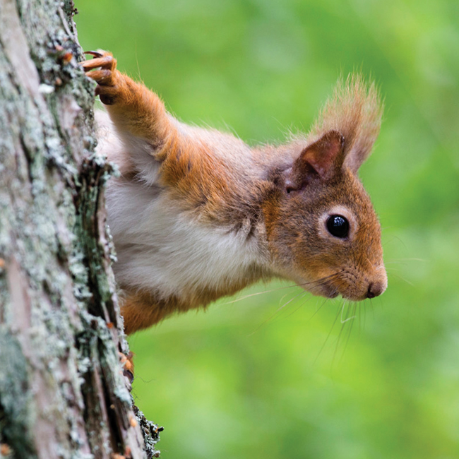DC67 Red Squirrel-0