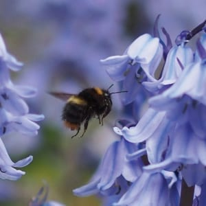 WW101 Bumblebee and Bluebells-0
