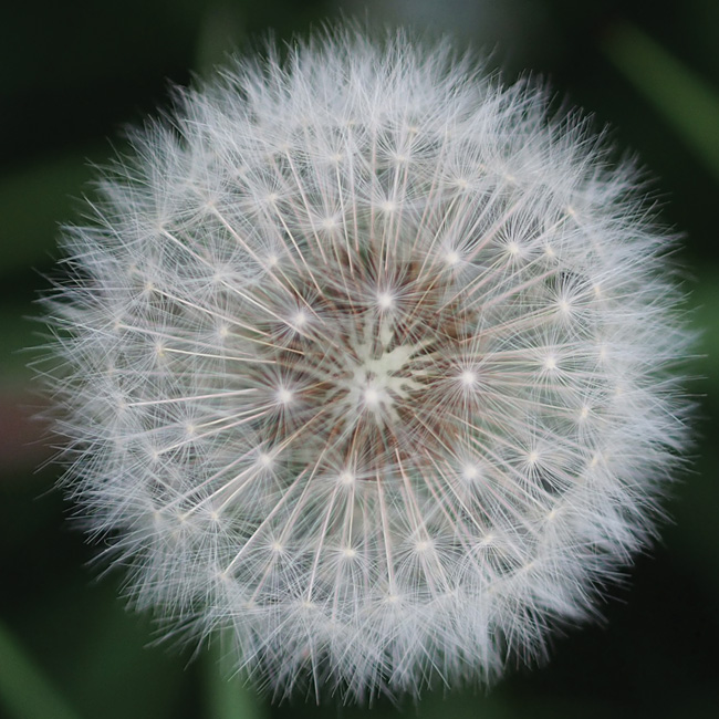 WW102 Dandelion Seed Head-0